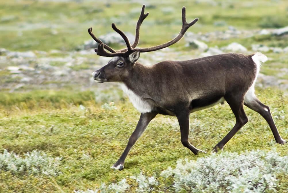 Gallery_Images_Reindeers_0004